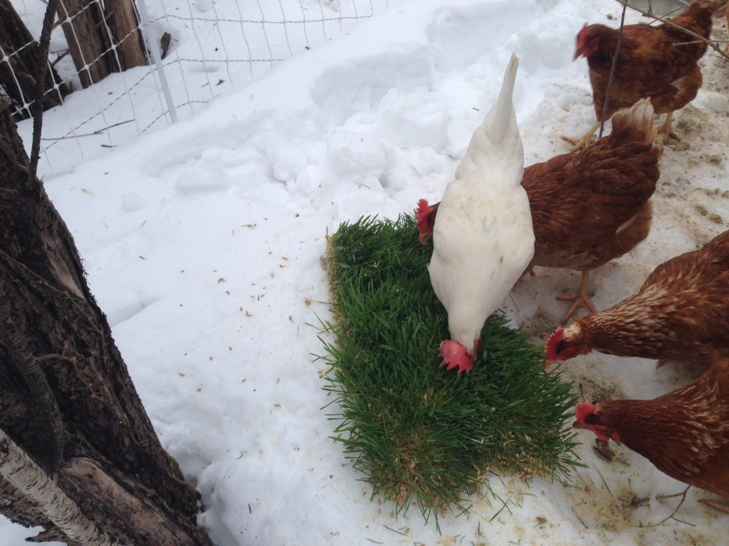 Chickens Eating Sprouted Barley